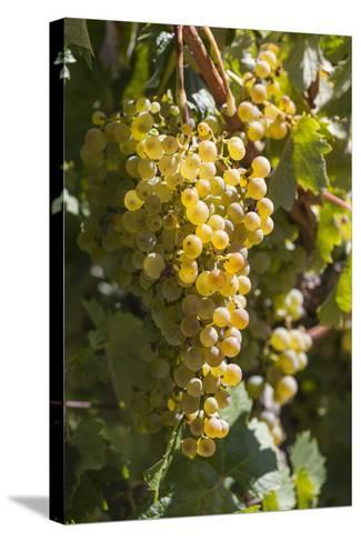 Australia, Clare Valley, Sevenhill, Winery Vineyard-Walter Bibikow-Stretched Canvas Print