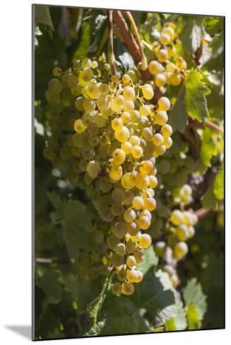 Australia, Clare Valley, Sevenhill, Winery Vineyard-Walter Bibikow-Mounted Photographic Print