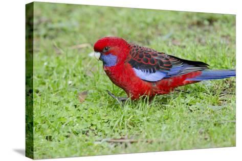 Australia, Dandenong National Park, Grants Reserve. Crimson Blue Cheeked Rosella-Cindy Miller Hopkins-Stretched Canvas Print