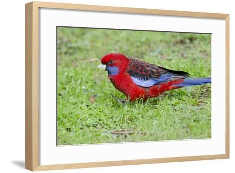 Australia, Dandenong National Park, Grants Reserve. Crimson Blue Cheeked Rosella-Cindy Miller Hopkins-Framed Art Print