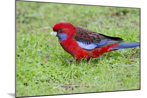 Australia, Dandenong National Park, Grants Reserve. Crimson Blue Cheeked Rosella-Cindy Miller Hopkins-Mounted Photographic Print
