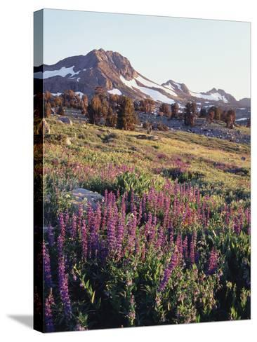 California, Sierra Nevada.   Lupine Wildflowers at Carson Pass-Christopher Talbot Frank-Stretched Canvas Print