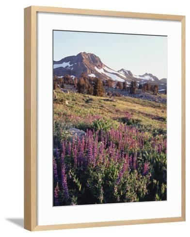 California, Sierra Nevada.   Lupine Wildflowers at Carson Pass-Christopher Talbot Frank-Framed Art Print