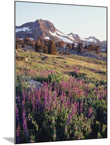 California, Sierra Nevada.   Lupine Wildflowers at Carson Pass-Christopher Talbot Frank-Mounted Photographic Print