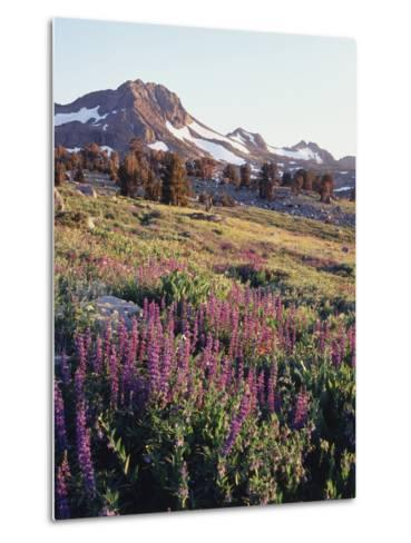 California, Sierra Nevada.   Lupine Wildflowers at Carson Pass-Christopher Talbot Frank-Metal Print