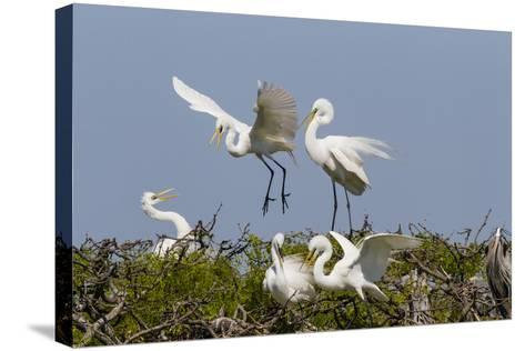 Calhoun County, Texas. Great Egret at Colonial Nest Colony-Larry Ditto-Stretched Canvas Print