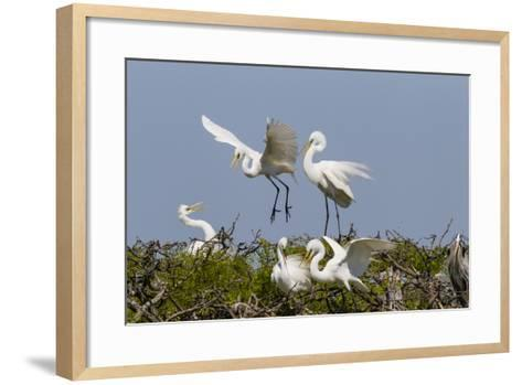 Calhoun County, Texas. Great Egret at Colonial Nest Colony-Larry Ditto-Framed Art Print