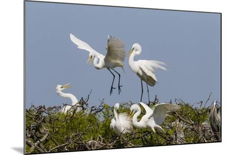Calhoun County, Texas. Great Egret at Colonial Nest Colony-Larry Ditto-Mounted Photographic Print