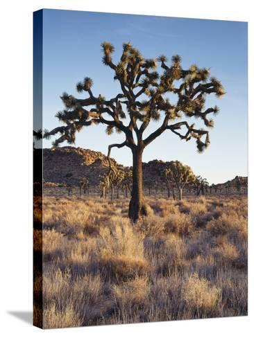 California, Joshua Tree National Park, a Joshua Tree in the Mojave Desert-Christopher Talbot Frank-Stretched Canvas Print