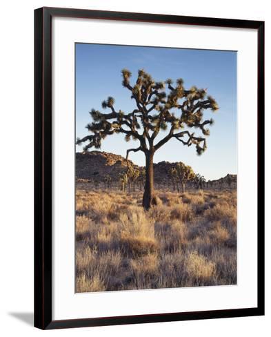 California, Joshua Tree National Park, a Joshua Tree in the Mojave Desert-Christopher Talbot Frank-Framed Art Print