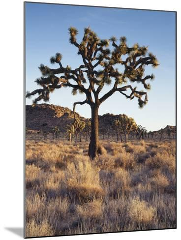 California, Joshua Tree National Park, a Joshua Tree in the Mojave Desert-Christopher Talbot Frank-Mounted Photographic Print