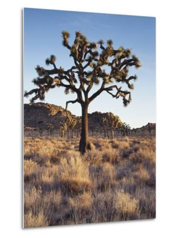 California, Joshua Tree National Park, a Joshua Tree in the Mojave Desert-Christopher Talbot Frank-Metal Print