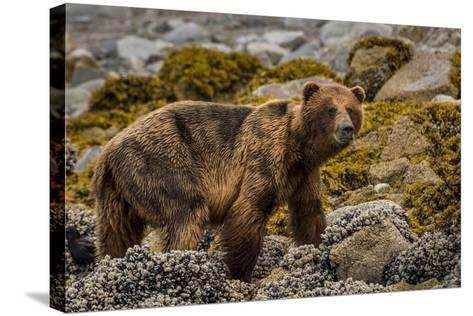 Alaska, Glacier Bay National Park. Brown Bear on Beach-Jaynes Gallery-Stretched Canvas Print
