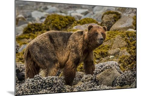 Alaska, Glacier Bay National Park. Brown Bear on Beach-Jaynes Gallery-Mounted Photographic Print