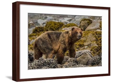 Alaska, Glacier Bay National Park. Brown Bear on Beach-Jaynes Gallery-Framed Art Print