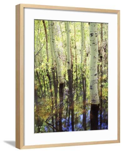 California, Sierra Nevada, Inyo Nf, Aspen Trees Along Rush Creek-Christopher Talbot Frank-Framed Art Print