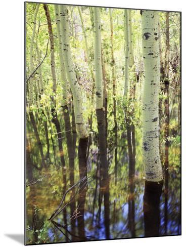 California, Sierra Nevada, Inyo Nf, Aspen Trees Along Rush Creek-Christopher Talbot Frank-Mounted Photographic Print