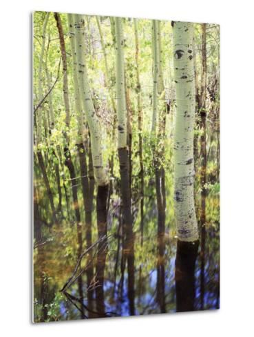 California, Sierra Nevada, Inyo Nf, Aspen Trees Along Rush Creek-Christopher Talbot Frank-Metal Print