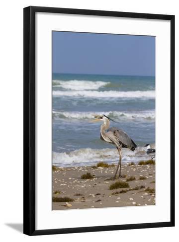 Cameron County, Texas. Great Blue Heron, Ardea Herodias, Feeding-Larry Ditto-Framed Art Print
