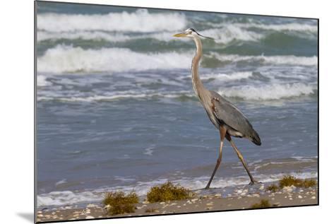 Cameron County, Texas. Great Blue Heron, Ardea Herodias, Feeding-Larry Ditto-Mounted Photographic Print