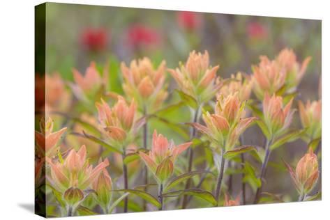 Alaska, Glacier Bay National Park. Indian Paintbrush Flowers-Jaynes Gallery-Stretched Canvas Print
