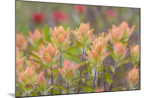 Alaska, Glacier Bay National Park. Indian Paintbrush Flowers-Jaynes Gallery-Mounted Photographic Print