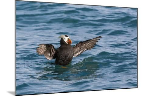 Alaska, Glacier Bay National Park. Tufted Puffin in Water-Jaynes Gallery-Mounted Photographic Print