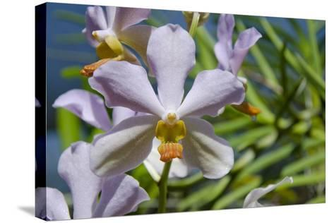 Australia, Northern Territory, Darwin. Jennys Orchid Garden-Cindy Miller Hopkins-Stretched Canvas Print