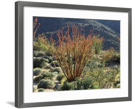 California, Anza Borrego Desert Sp, Blooming Ocotillos in the Desert-Christopher Talbot Frank-Framed Art Print
