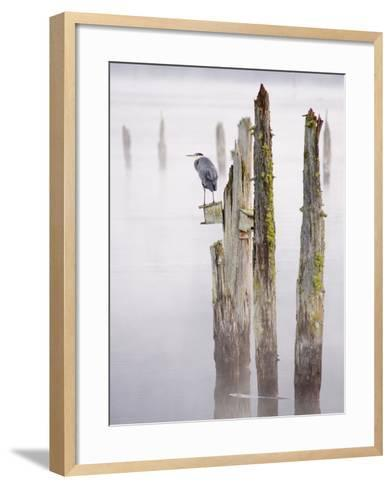 Canada, B.C, Vancouver Island. Great Blue Heron on an Old Piling-Kevin Oke-Framed Art Print