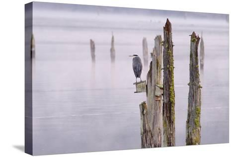 Canada, B.C, Vancouver Island. Great Blue Heron on an Old Piling-Kevin Oke-Stretched Canvas Print