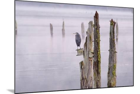 Canada, B.C, Vancouver Island. Great Blue Heron on an Old Piling-Kevin Oke-Mounted Photographic Print
