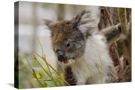 Australia, Perth, Yanchep National Park. Koala Bear a Native Arboreal Marsupial-Cindy Miller Hopkins-Stretched Canvas Print