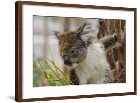 Australia, Perth, Yanchep National Park. Koala Bear a Native Arboreal Marsupial-Cindy Miller Hopkins-Framed Art Print