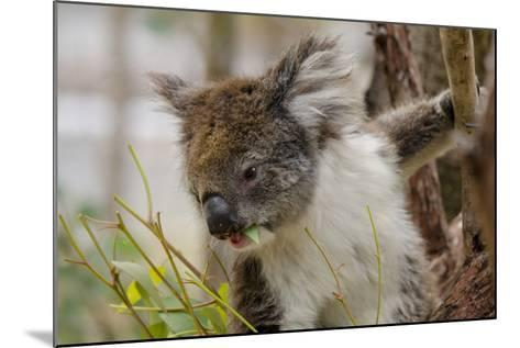 Australia, Perth, Yanchep National Park. Koala Bear a Native Arboreal Marsupial-Cindy Miller Hopkins-Mounted Photographic Print