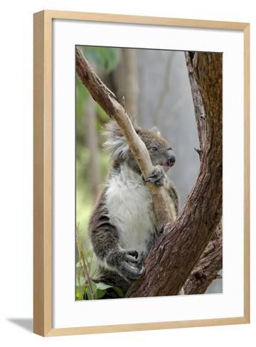 Australia, Perth, Yanchep National Park. Koala Bear a Native Arboreal Marsupial-Cindy Miller Hopkins-Framed Art Print
