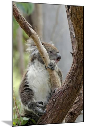 Australia, Perth, Yanchep National Park. Koala Bear a Native Arboreal Marsupial-Cindy Miller Hopkins-Mounted Photographic Print