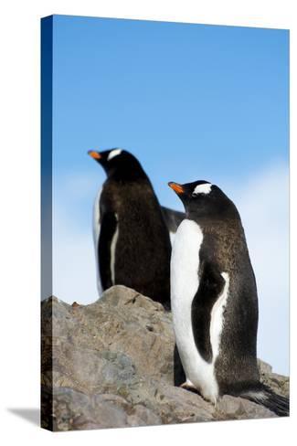 Antarctica. Neko Harbor. Gentoo Penguin, Pygoscelis Papua, Colony-Inger Hogstrom-Stretched Canvas Print