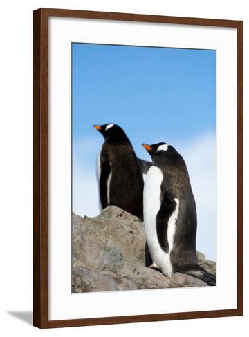 Antarctica. Neko Harbor. Gentoo Penguin, Pygoscelis Papua, Colony-Inger Hogstrom-Framed Art Print