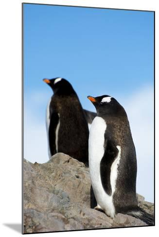 Antarctica. Neko Harbor. Gentoo Penguin, Pygoscelis Papua, Colony-Inger Hogstrom-Mounted Photographic Print