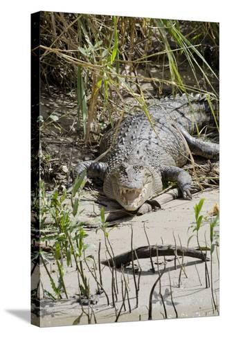 Australia, Queensland, Daintree. Dsaltwater Crocodile-Cindy Miller Hopkins-Stretched Canvas Print