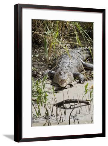 Australia, Queensland, Daintree. Dsaltwater Crocodile-Cindy Miller Hopkins-Framed Art Print