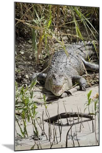 Australia, Queensland, Daintree. Dsaltwater Crocodile-Cindy Miller Hopkins-Mounted Photographic Print
