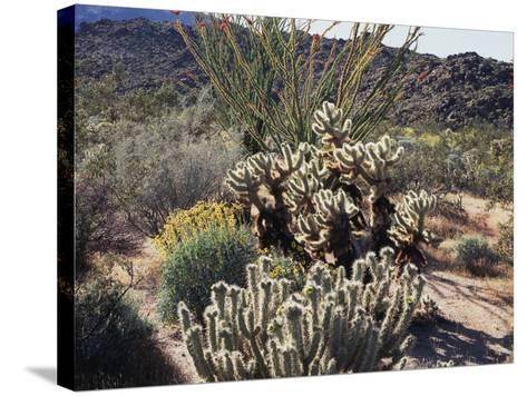 California, Anza Borrego Desert Sp, Desert Vegetation-Christopher Talbot Frank-Stretched Canvas Print