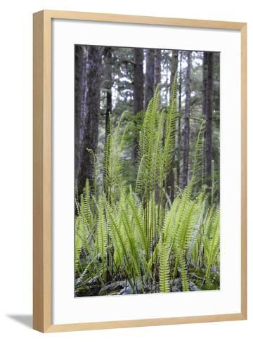 Canada, B.C. Carmanah Walbran Provincial Park. Ferns-Kevin Oke-Framed Art Print