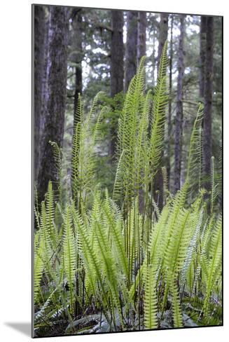 Canada, B.C. Carmanah Walbran Provincial Park. Ferns-Kevin Oke-Mounted Photographic Print