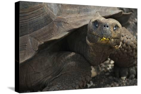 Ecuador, Galapagos. Fe Giant Tortoise at Charles Darwin Station-Jaynes Gallery-Stretched Canvas Print