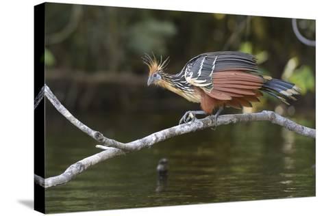 Ecuador, Orellana, Napo River. Hoatzin on Branch over Lake Garzacocha-Kevin Oke-Stretched Canvas Print