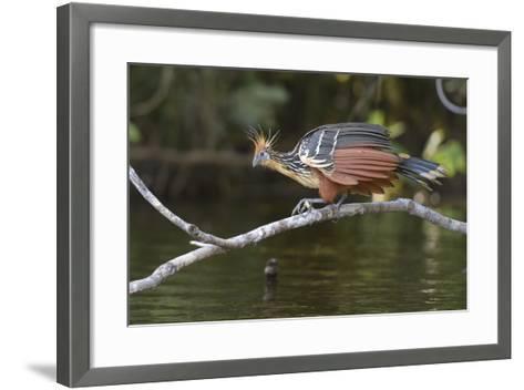 Ecuador, Orellana, Napo River. Hoatzin on Branch over Lake Garzacocha-Kevin Oke-Framed Art Print