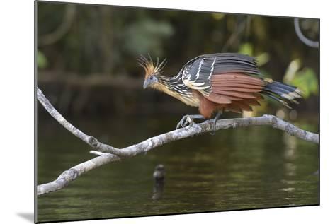 Ecuador, Orellana, Napo River. Hoatzin on Branch over Lake Garzacocha-Kevin Oke-Mounted Photographic Print